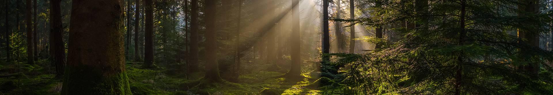 Prześwitujące słońce między drzewami