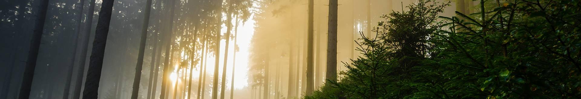 Las podczas wschodu